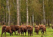Для возвращения сбежавших зубров в Приокско-Террасный заповедник использовали дельтапланы