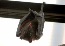 Жители Подмосковья пожаловались на нашествие летучих мышей