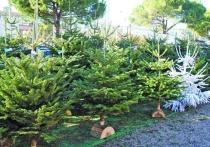 Как кубанцам правильно выбрать новогоднюю елку